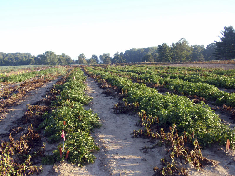 Wilted conventional potato plants without resistance to the pathogen that caused the Irish potato famine are on the left, next to surviving rows of J.R. Simplot Co.'s genetically engineered potato plants that resist the disease.
