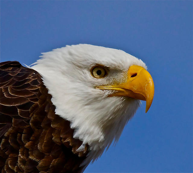 Coeur d\'Alene Tribe To Open Eagle Aviary, A Northwest First | Boise ...