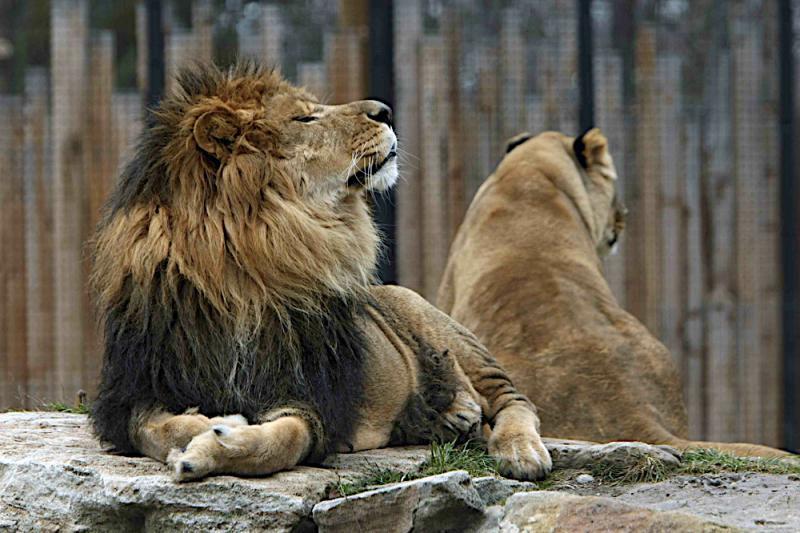 Jabari lounging at Zoo Boise.