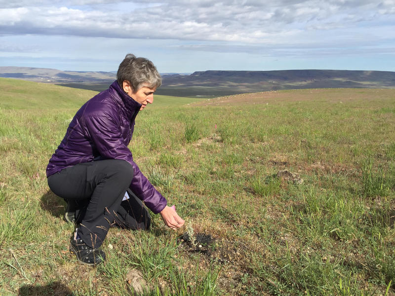U.S. Secretary of the Interior Sally Jewell examines a seedling sagebrush planted, Tuesday, May 24, 2016.
