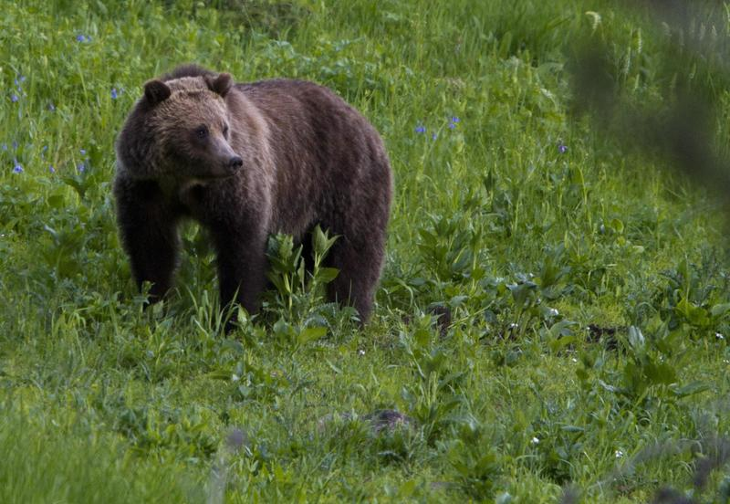 This July 6, 2011 file photo shows a grizzly bear roaming near Beaver Lake in Yellowstone National Park, Wyo.