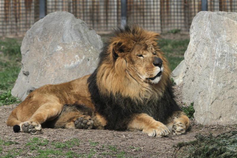 Jabari the lion.