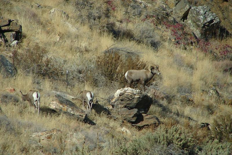 File photo of bighorn sheep.