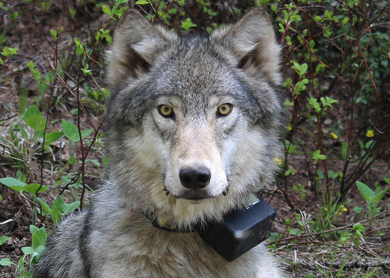 A female wolf from the Minam pack outside La Grande, Oregon.