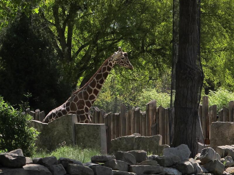 Jabari waits for a new friend at Zoo Boise.