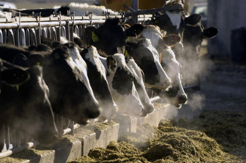 In this March 11, 2009, file photo, a line of Holstein dairy cows feed through a fence at a dairy farm outside Jerome, Idaho.