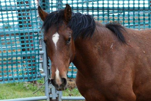 This is horse #4423, a two-year-old gelding available for adoption at the Burns, Oregon BLM starting June 6. Many horses spend years waiting for adoption and some live out their lives in BLM corrals.