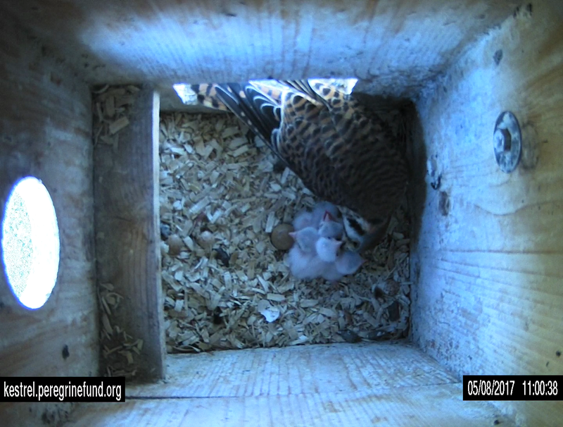Kestrel babies hatch at the nest box in Boise.