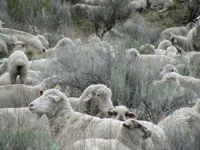 Sheep chow down in the Boise Foothills each Spring.