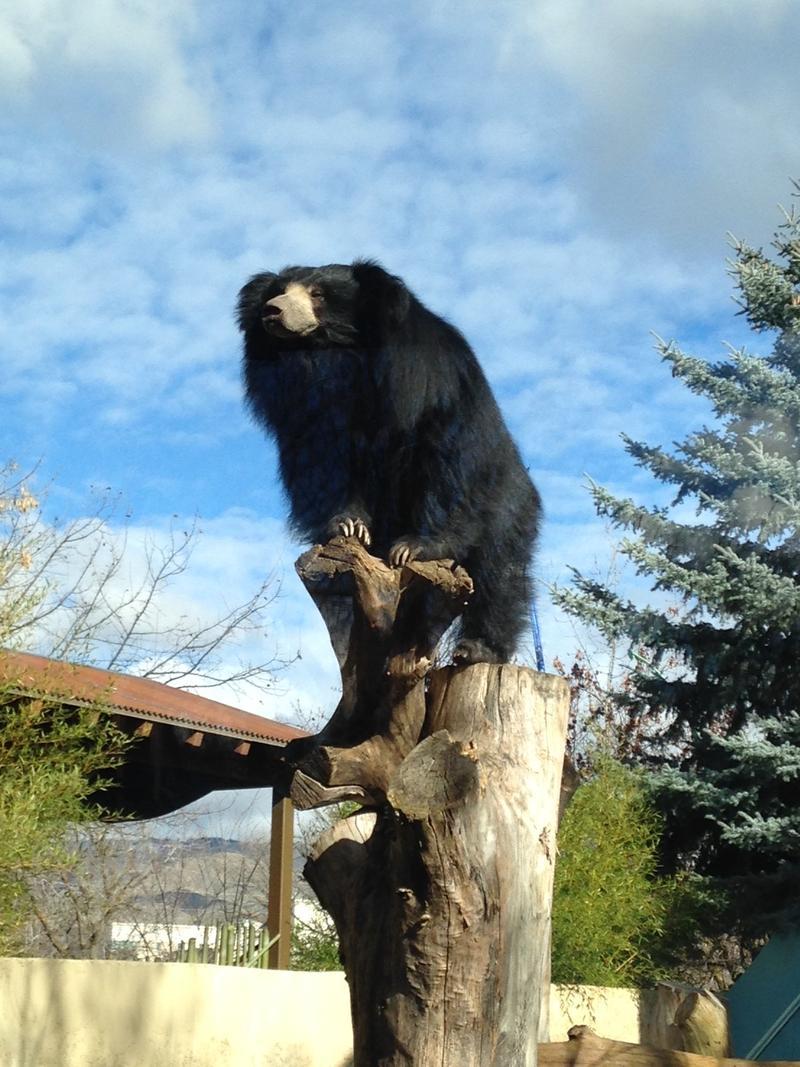 Paji the sloth bear.