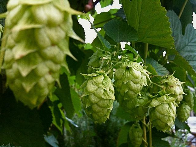 Washington, Oregon and Idaho are the top states for hop production.
