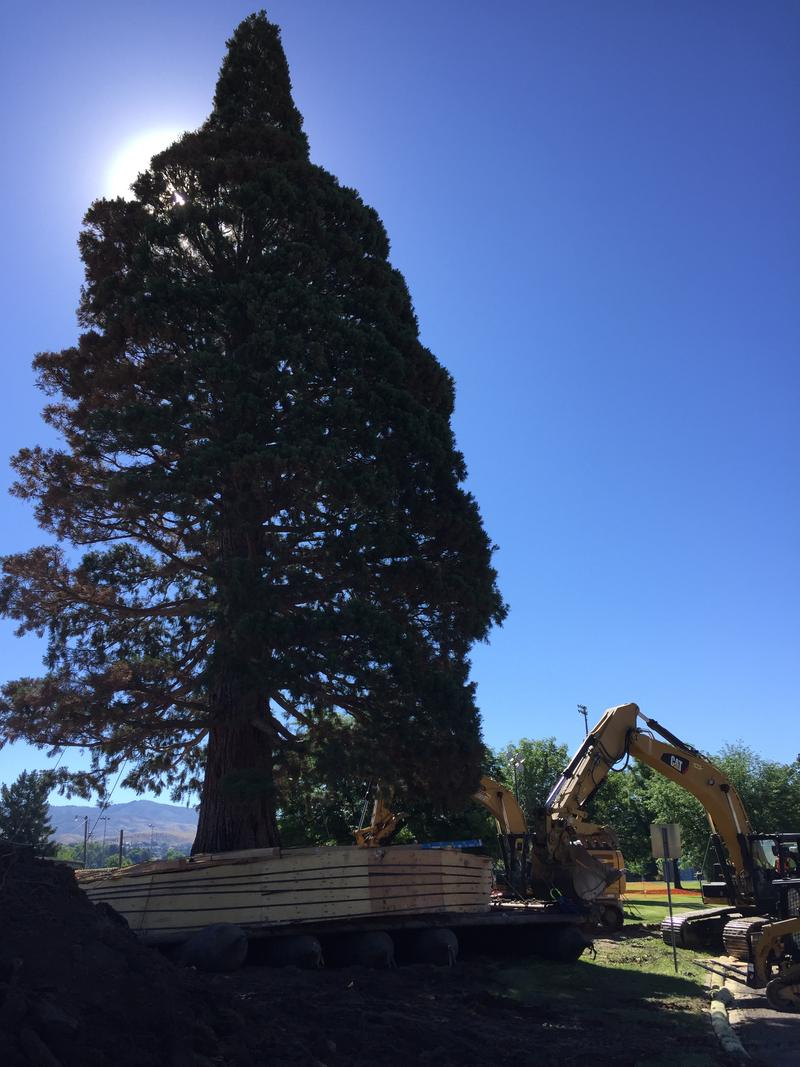 Idaho's oldest and tallest sequoia awaits a few final pushes into its new home the morning of June 25.