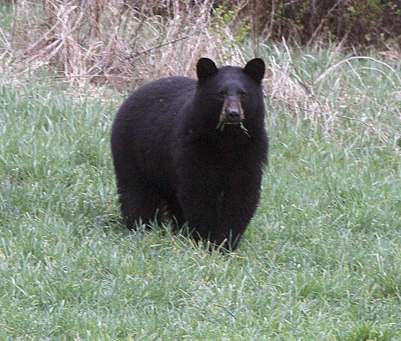 In this April 22, 2012 file photo, a black bear grazes in a field in Calais, Vt.