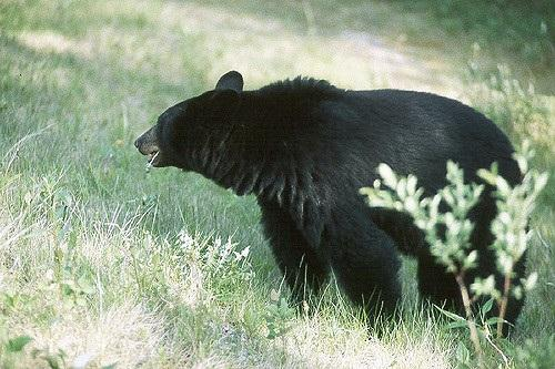 File photo of a black bear. Idaho Fish and Game officials say a female black bear attacked a woman and her dogs in North Idaho because they surprised her.
