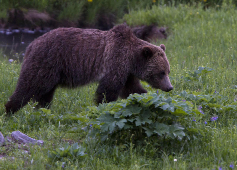 A grizzly bear roams near Beaver Lake in Yellowstone National Park, Wyoming, Wednesday July 6, 2011.