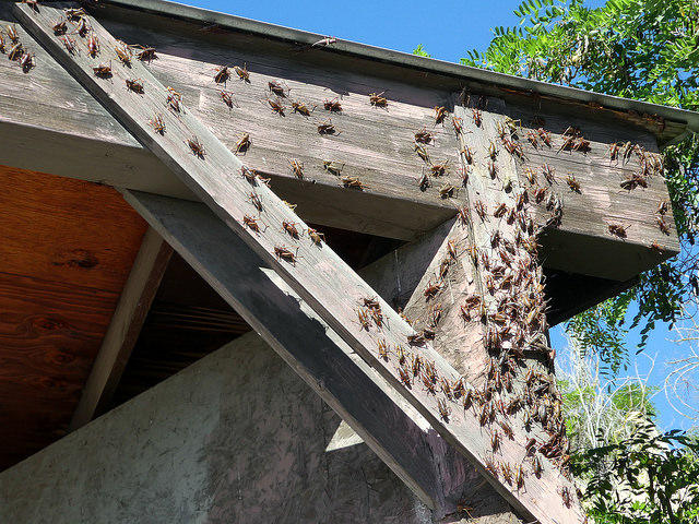 A swarm of Mormon crickets on a structure in Arlington, Oregon.