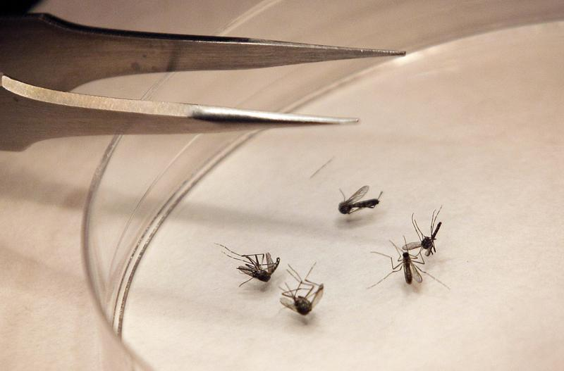 File photo of mosquitos in a lab in Dallas. The insects can infect sage grouse with West Nile Virus, but the rate of infection is unclear.
