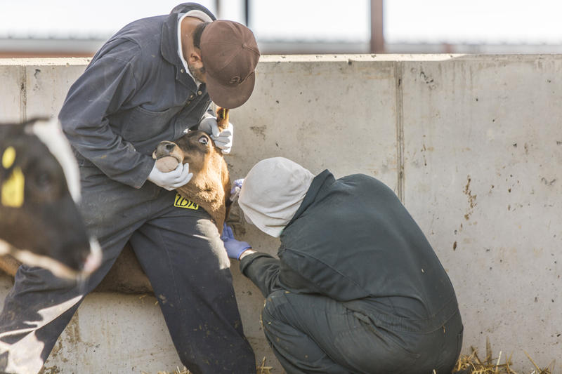 Immigrant workers hold an older calf to administer medicine. Farmers say immigrant workers are needed to do the close-to-the-ground tasks from which Americans shy away.