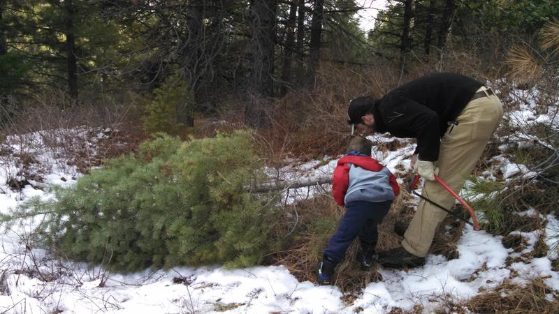 Families trek to the forest every year to harvest their own Christmas tree.