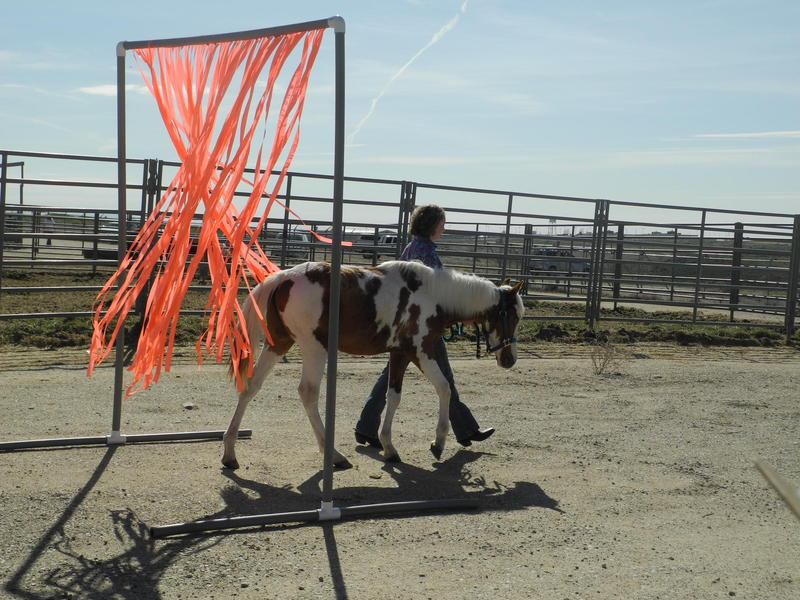 A 4-H student leads a wild horse through a training course at the BLM Boise Wild Horse Corral in 2016.