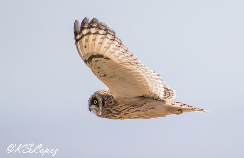 Short-eared owl.