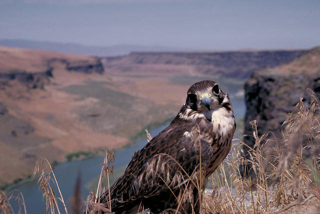 A Prairie Falcon at the Morley Nelson Snake River Birds of Prey National Conservation Area.