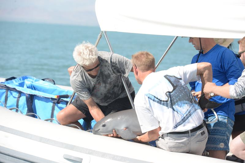 In this photo, the first vaquita to be captured in the program is shown in the Gulf of California. It was released shortly after capture due to stress and because it was a juvenile.