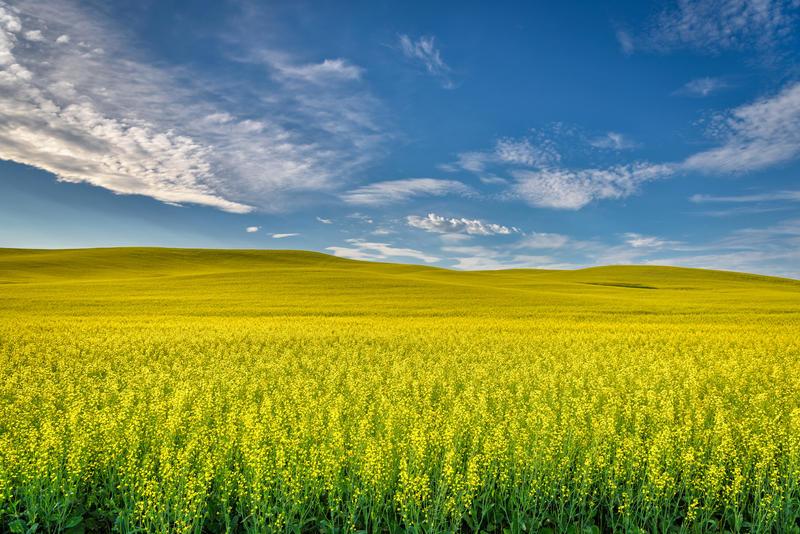 A canola field near Palouse, Wash.