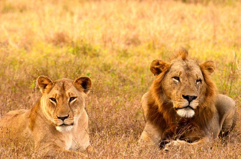 Zoo Boise has been working with Gorongosa for years, including funding a study of lions, like these, in the African park.