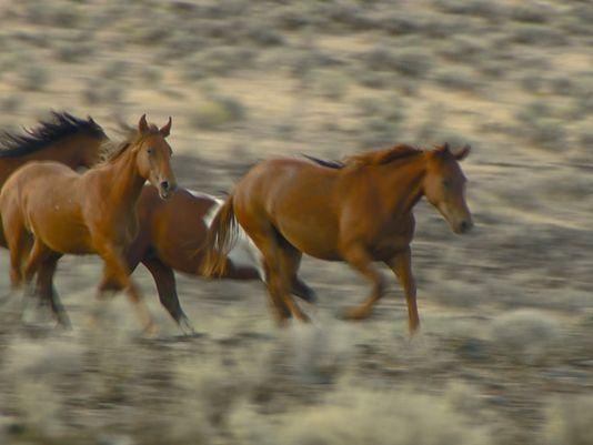 After the Soda Fire in 2015, the BLM gathered wild horses at risk of starvation off the range on August 27.