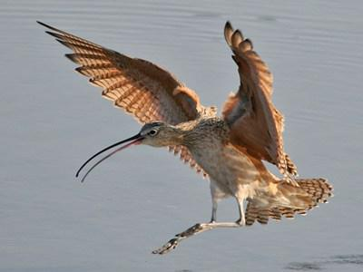 A Long-billed Curlew