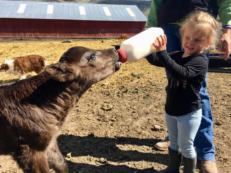 Three-year-old Jordyn feeds a calf on her grandpa's ranch near Carey, Idaho. A conservation easement makes it possible for this ranch to support two generations.