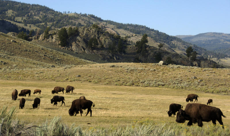 In this Aug. 3, 2016 photo, a herd of bison grazes in the Lamar Valley of Yellowstone National Park. An Oregon man has been sentenced to 130 days in jail after pleading guilty to misconduct in two national parks.