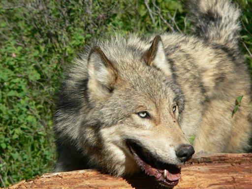 Idaho's wolf hunting season just finished.