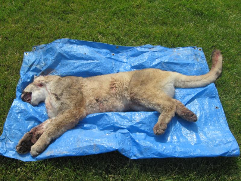 Fish and Game displays the mountain lion shot by Boise police
