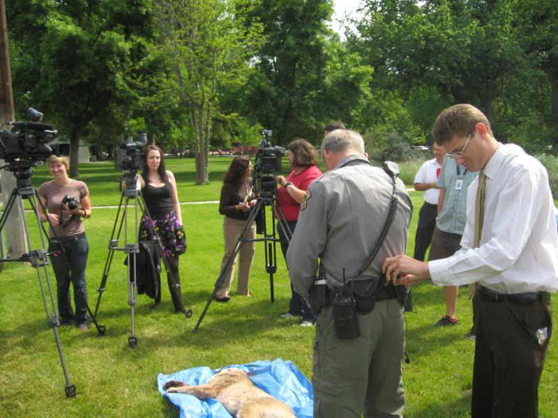 A TV reporter puts a microphone on Matt O'Connnell with Idaho Fish and Game while members of the media stand over the body of the cougar shot Tuesday in Boise