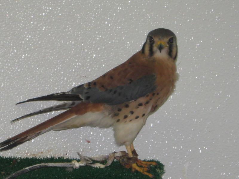 Bob the American Kestrel