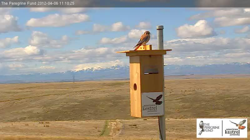 Kestral On Top Of Nest Box