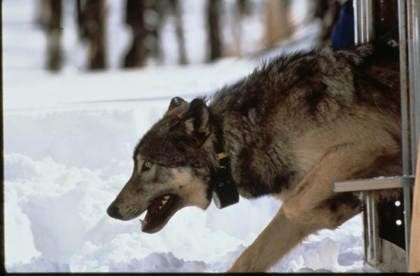 Suzanne Stone helped release wolves like this one back into the wild.