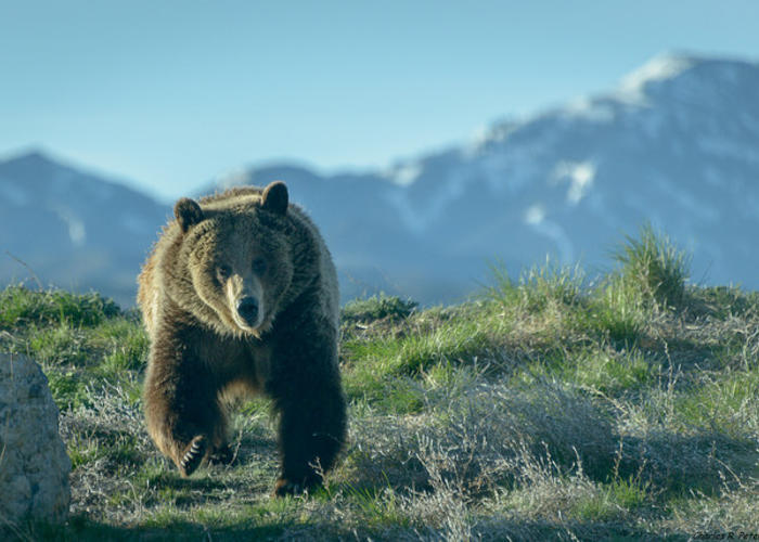 Proposed grizzly hunt rules open to public comment during for Idaho fish and game phone number