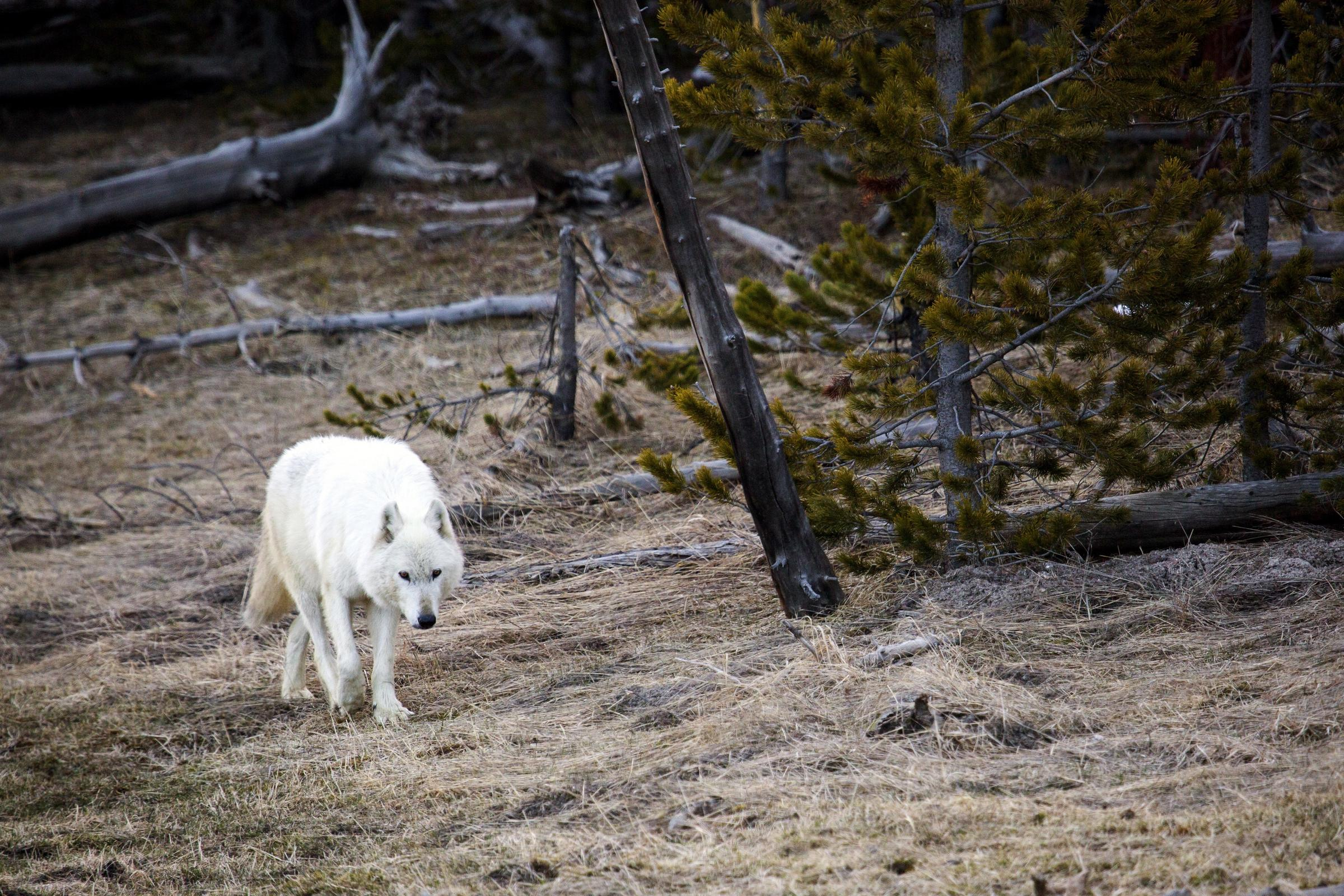 Yellowstone: White wolf was shot; $5000 reward offered