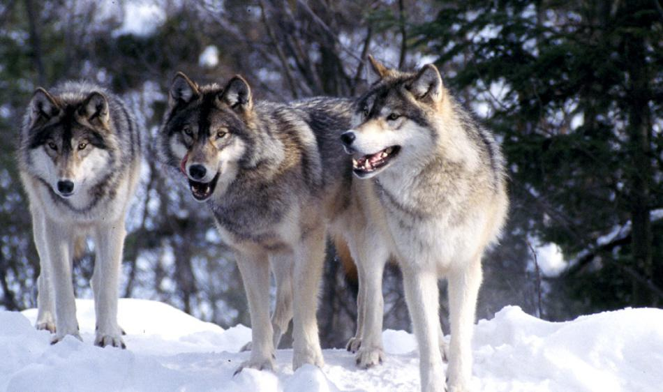 Wolves Spotted In Boise Foothills Boise State Public Radio