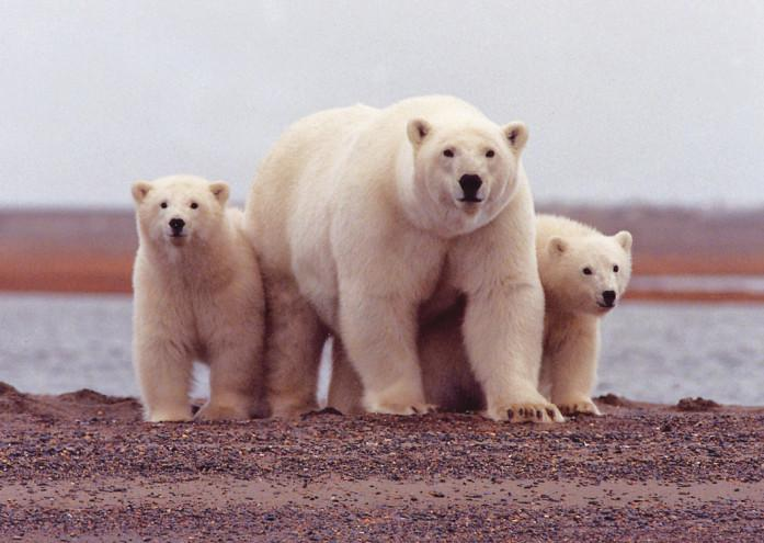 Scientists now believe polar bears have existed for over four million years, having endured many periods of climate change before.