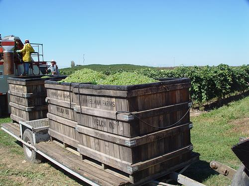 Grapes, grapes, grapes. The harvest is underway.
