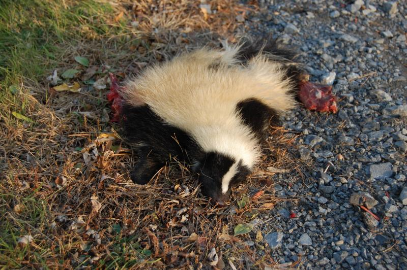 The roadkill skunk, up close.