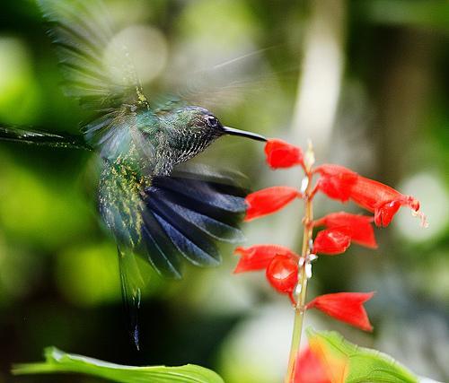 A honeysuckle bird mid-flight