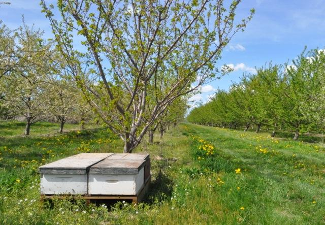 Bee hives are brought to New York's apple orchards in May every year, often from as far as Florida