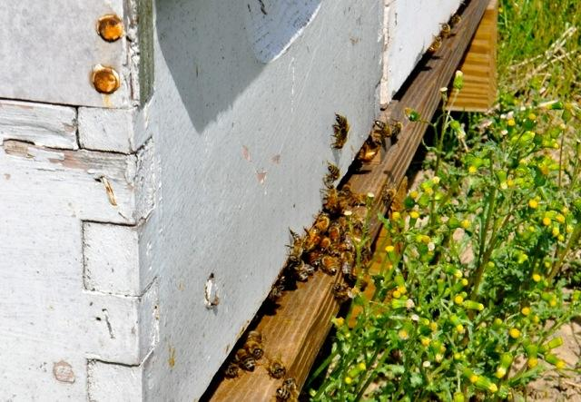 Honey bees add billions of dollars of value to U.S. agriculture every year through pollination