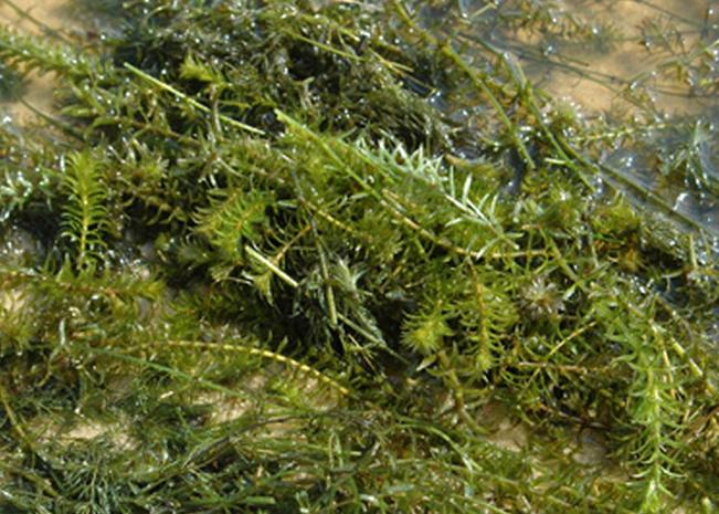 Hydrilla, an aquatic invasive plant in upstate New York waterways