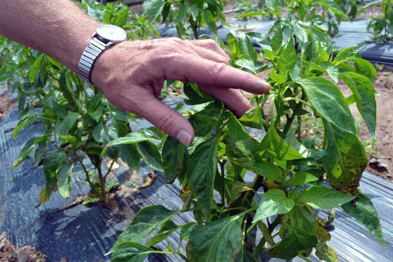 Peppers on Brian Reeves' farm are having a tough time coming in because of the wet weather.